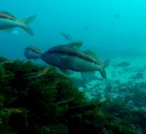 [VIDEO] À la découverte de nouveaux fonds – Chasse sous marine NZ